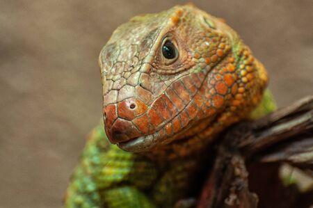 The head of a crocodile teju 版權商用圖片
