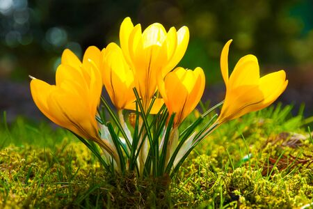 blooming yellow crocuses in spring