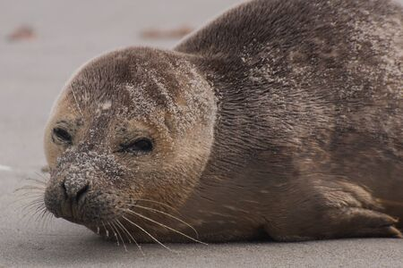 A young seal on the beach in Helgoland 版權商用圖片