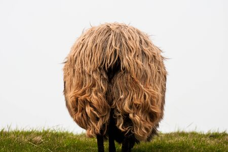The back of a woolly sheep 版權商用圖片