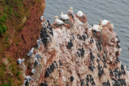 Black-footed gulls and kittiwakes on the lummen rock on Helgoland