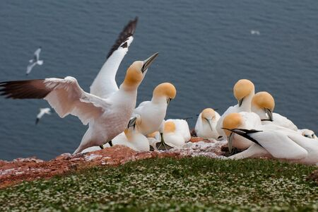 Northern gannets on the island of Helgoland