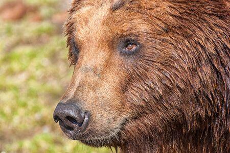The head of a Kamchatka bear