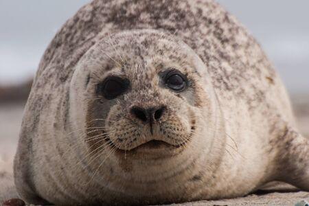 A seal on the beach in Helgoland 版權商用圖片
