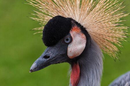 The head of a crowned crane