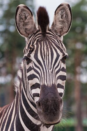 The head of a steppe zebra 版權商用圖片