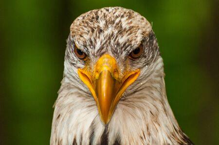 The head of a bald eagle Stock Photo