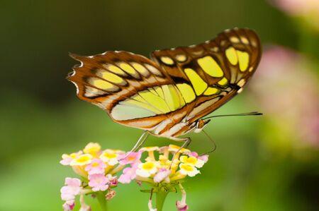 A malachite butterfly on a leaf