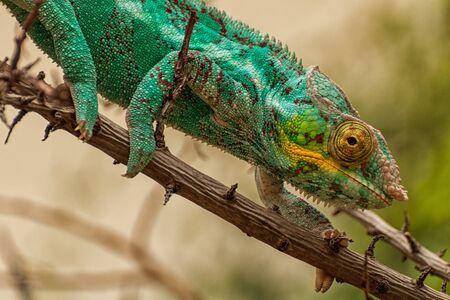 A panther chameleon balances on a branch