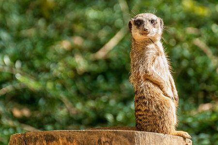 A sweet meerkat stands guard 版權商用圖片