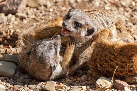 Two meerkats fight with each other