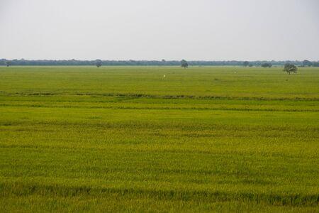 A rice field in Cambodia 版權商用圖片