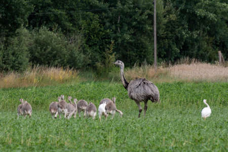 Wild Nandus with children on a field in Mecklenburg West Pomerania 版權商用圖片