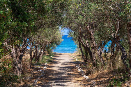 Olive trees in front of the blue sea