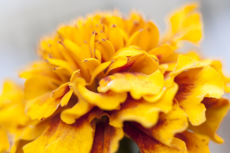 patula: Beautiful close-up of  a French marigold - Tagetes patula
