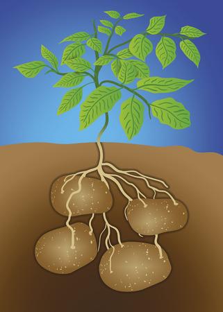 감자의 벡터 일러스트