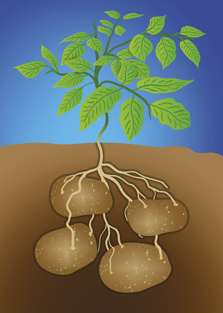 lands: Vector of potato Illustration
