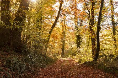 Beech forest called La Fageda den Jord located in Garrotxa, Catalonia Spain