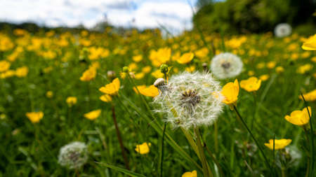 Dandelion in the meadow with yellow buttercups