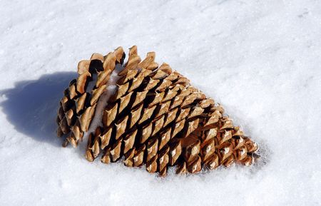 pine cone partially buried in snow on suuny day