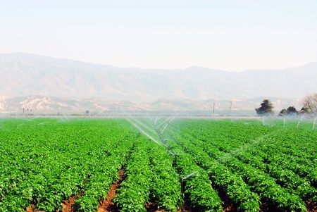 lush field of green vegetables being irrigated