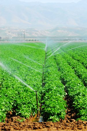 irrigation of vegetable field in agricultural region