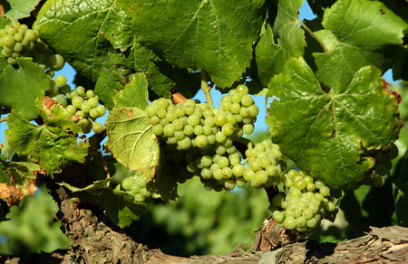 viticulture: Champagne Grapes on the Vine in Napa Valley