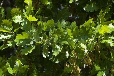 freshly grown Valley Oak leaves with flower catkins  photo