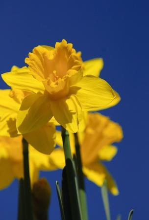 Daffodil in bright sunshine against deep, blue sky