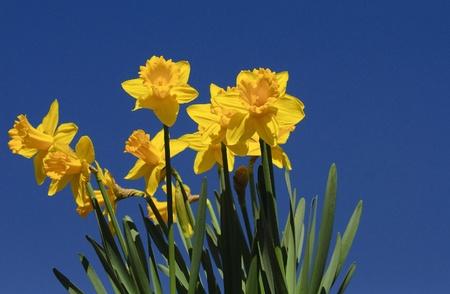springtime - Daffodils against bright blue sky
