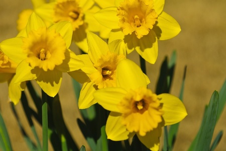 spring flowers - Daffodils, selective focus on center flower