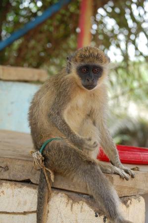 scamper: Pet Monkey Stock Photo