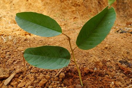 three leaf: Three Leaf Plant