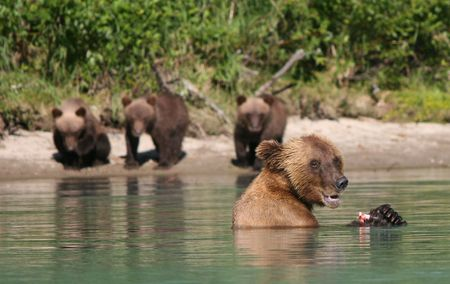 Brown bear Alaska bear eating fish with her cubs in the background  photo