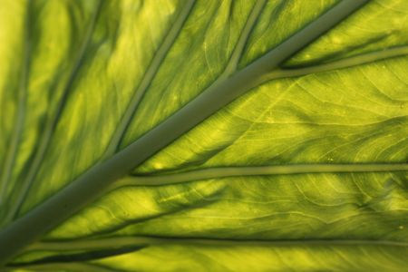 back lighting: Close-Up of green leaf with back lighting Stock Photo