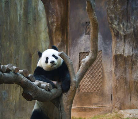 A panda getting a better view of the commotion