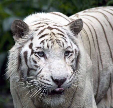 A white tiger anticipates her next meal photo