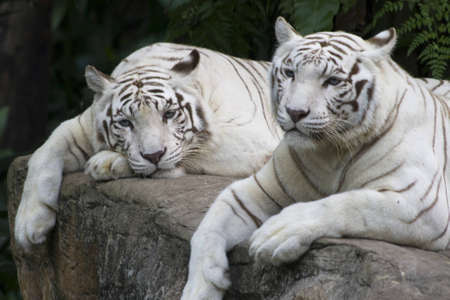 rare: A pair of white tigers enjoying a peaceful day Stock Photo