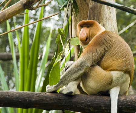 A proboscis monkey calls out to attract attention to his nose