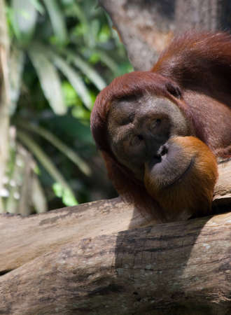 commotion: An orangutan peeking over at the commotion Stock Photo