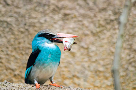 A Blue Breasted Kingfisher catches its meal