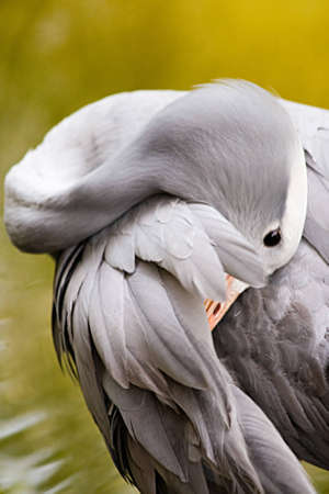 A blue crane takes time to preen itself