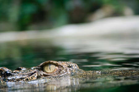 A hunting crocodile swims toward its prey. Stock Photo