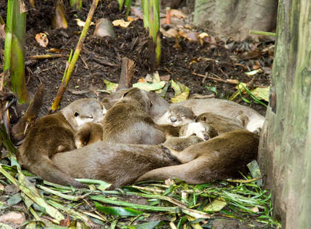 mid afternoon: A group of giant otters take a mid afternoon nap