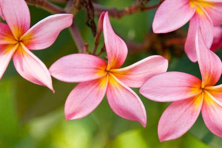 plumerias: A sprig of Plumerias in full colorful bloom