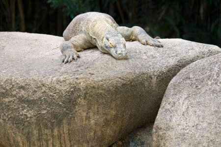 A Komodo dragon waits for its prey to come out.