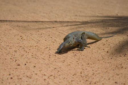 lizard in field: Un Varanidae deambula en el terreno de juego