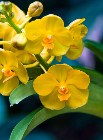 Beautiful, exotic yellow orchids in full bloom. Stock Photo