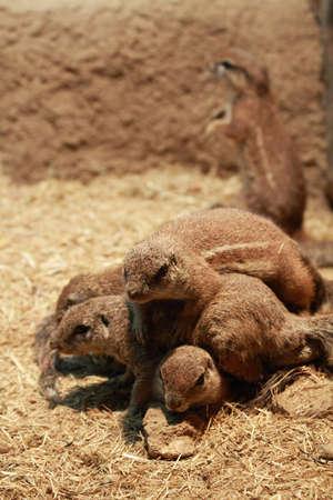 cape ground squirrel: A pack of squirrels in a scrum over a rock