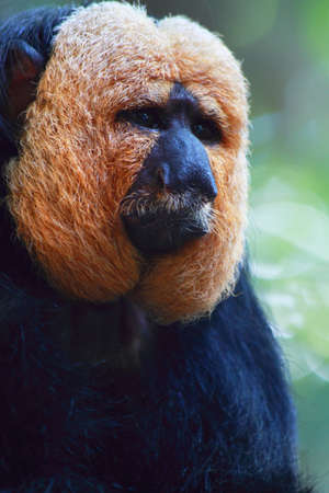 saki: A white faced saki monkey contemplates its future
